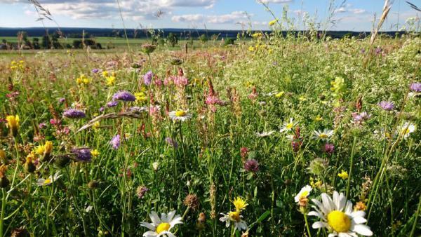 Blumenbunte Wiesen bei Löffingen als Spenderflächen für Blumenwiesensamen.  Bildnachweis (© Ulrike Stephan)