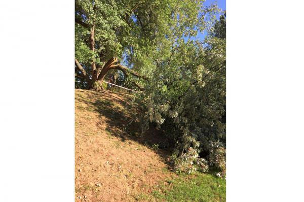 Baum im Weiler Rheinpark wurde gefällt - Beschädigter Silberahorn im Spazierbereich musste aus Sicherheitsgründen entfernt werden  Foto: Stadt Weil am Rhein