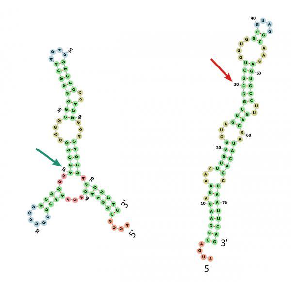 Falsch gefaltet: Eine einzige stille Mutation führt dazu, dass sich die Struktur des Protein-Bauplans ändert.  Bildquelle: Universitätsklinikum Freiburg