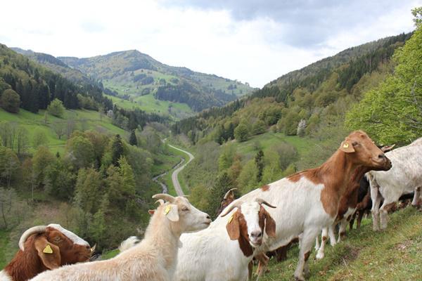Ziegen tragen zur Offenhaltung der Landschaft im Landkreis Lörrach bei. Foto©Landratsamt Lörrach