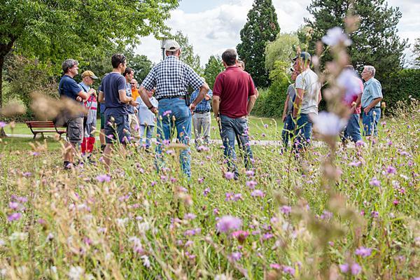 Auch im Stadtpark wurden verschiedene Felder mit Wildblumen angelegt. Das reiche Vorkommen der Wiesen-Flockenblume belegt den Erfolg dieser Maßnahme und ist zugleich optisch sehr attraktiv.  Foto: © Naturpark Südschwarzwald