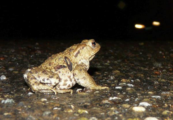 Amphibien gehen auf Wanderschaft - Tunnel in Ettenheim sorgen für sicheren Weg zum Winterquartier.  Foto: H.J. Gorny