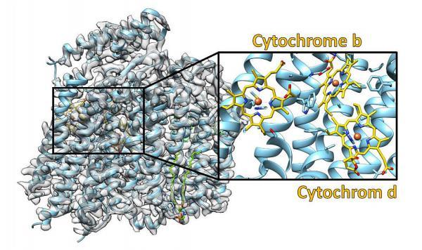 Bauplan eines bakteriellen Kraftwerks entschlüsselt. Struktur der Cytochrom-bd-Oxidase. Die experimentellen Daten sind in grau dargestellt und das daraus abgeleitete molekulare Modell farbig. Die Ausschnittvergrößerung zeigt den Bereich, in dem die drei Cytochrome gebunden sind.  Foto: Universität Würzburg