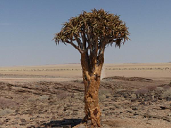 Köcherbaum in der Namib Foto by Angela Tacke