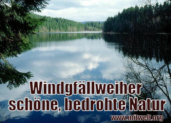 Der Windgfällweiher im Schwarzwald: Schön und bedroht