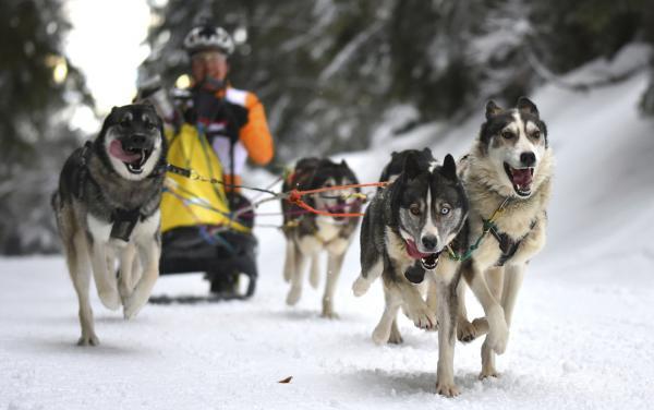 Schlittenhunderennen in Todtmoos (30./31. Januar) abgesagt.  Foto: Hochschwarzwald Tourismus GmbH